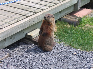 Une marmotte d'Amérique - Ottawa